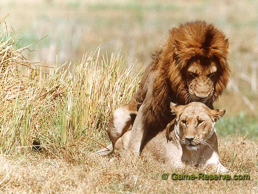 Lion_Mate_1024x768