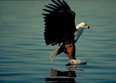 Fish Eagle.  Pic: David Anderson