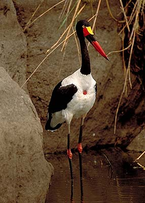 Saddle-bill stork. Pic: David Anderson.