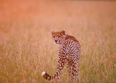 Cheetah in grass. Pic: David Anderson.