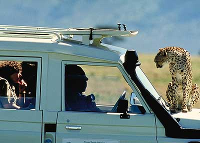Cheetah on 4x4 vehicle.  Pic: David Anderson.