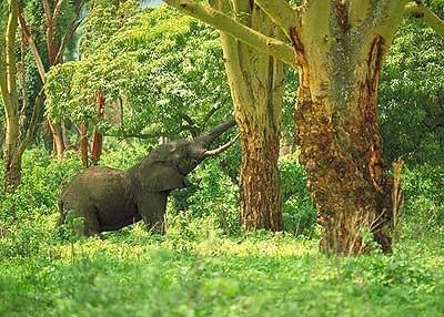 Elephant in Forest - pic David Anderson