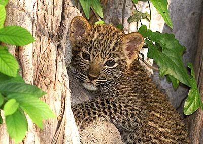Leopard Cub in Tree. Pic: David Anderson.