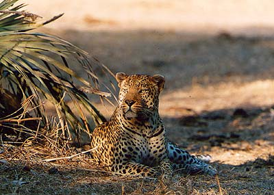 Leopard male resting. Pic: Norman Goldberg