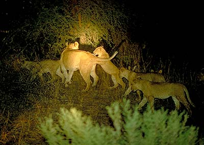 Lions at Night. Pic: David Anderson