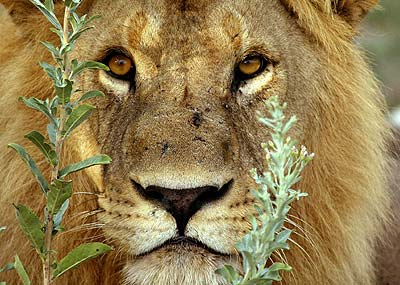 http://www.game-reserve.com/images/wildlife/lion/male_lion.jpg