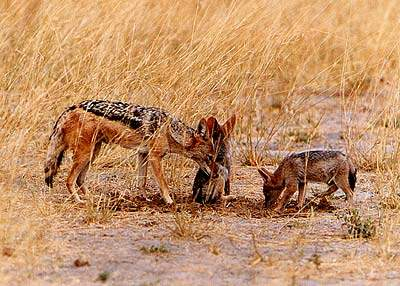 Black-backed Jackal with pups. Pic: Norman Goldberg