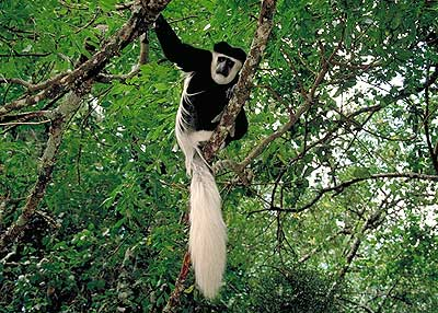 Colobus Monkey.  Pic: David Anderson.